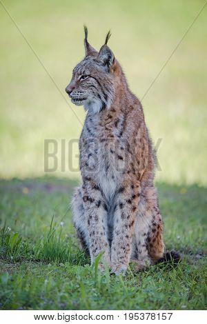 Lynx Sits On Shady Grass Looking Sideways
