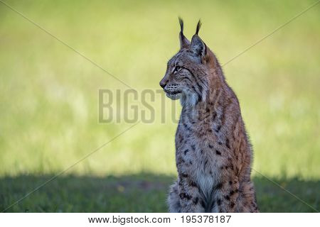 Lynx Sits On Shady Grass Looking Left