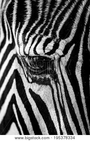Mono Close-up Of Grevy Zebra Staring Down