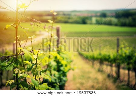 Vineyard landscape in early summer close up