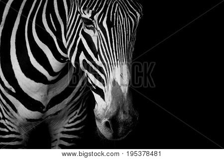 Mono Close-up Of Grevy Zebra In Dark