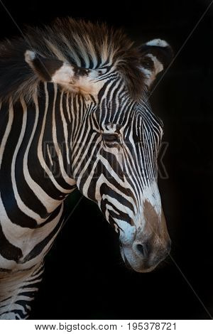 Close-up Of Grevy Zebra With Drooping Head