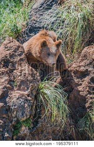 Brown Bear Looks Through Gully Between Rocks