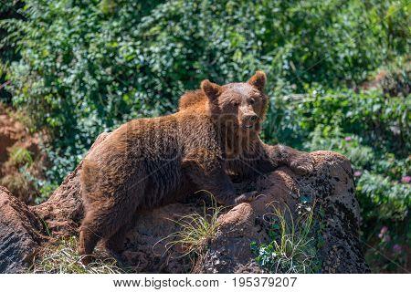 Brown Bear Lying On Rock In Undergrowth