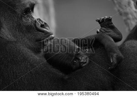 Mono Baby Gorilla In Lap Of Mother