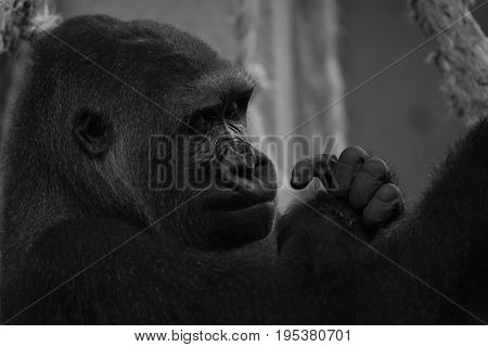 Mono Close-up Of Gorilla Head And Hands