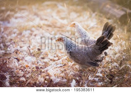 cute bantam with sunlight in the morning