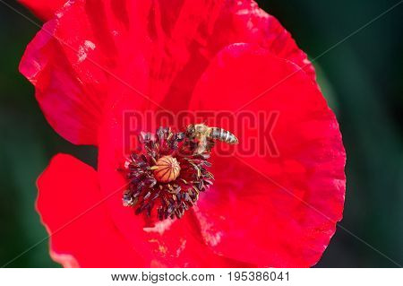 Photo of bee working and collecting pollen from red poppy flower. Close up