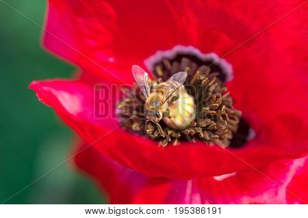 Macro photo of bee collecting pollen from red poppy flower