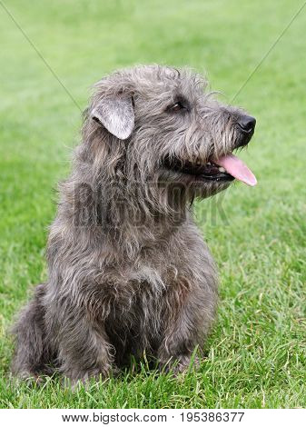 Portrait of typical Irish Glen of Imaal Terrier on the green grass