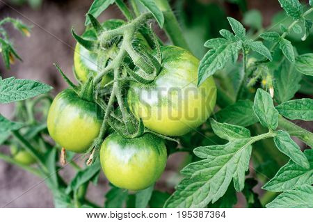 Unripe green tomatoes growing in the garden. Close up