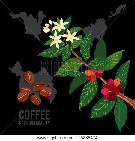 Coffee branch on the background of the map. Plant with leaf, flowers, berry, fruit, seed. Ripe coffee. Natural caffeine drink.Vector colored illustration on black background for shop and poster design