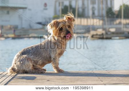 funny Dog sticking his tongue, looking straight ahead, Doggy brown Yorkshire Terrier dog. Blurry background of a harbor and the sea