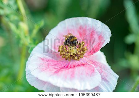 Bumblebee inside pink poppy flower collecting pollen