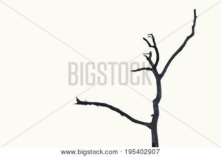 Dry tree dead tree with beautiful branch silhouette on white background. Suitable as reference for art and design work.