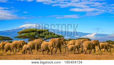 Herd of african elephants on a safari trip to Kenya and a snow capped Kilimanjaro mountain in Tanzania in the background, under cloudy blue skies.