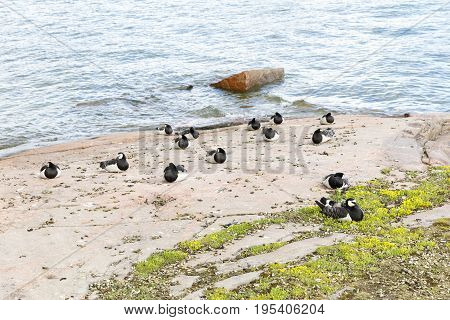 Many barnacle goose birds stand and sit on coast at seashore