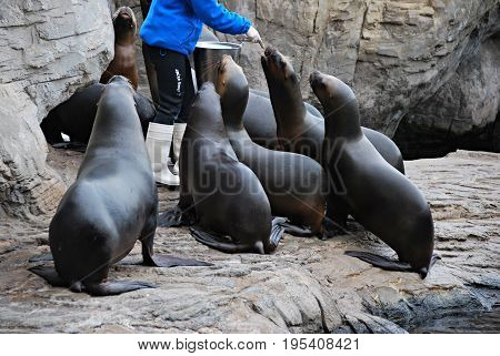 Seals standing while being fed. Animals and mammals