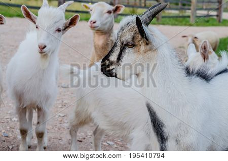 Beautiful multi-colored goats and goats with horns and wool, walking in the summer along the meadow and road eating grass.