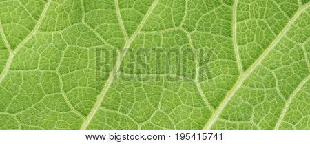 Green Leaf Of Fluffy Cover Background, Plant Elecampane, Inula Helenium, Nature Texture