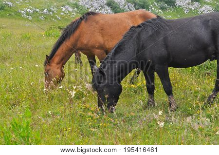 The herd of wild free horses grazing in the meadow in the mountains. Adult horses kept young cute foal outdoor