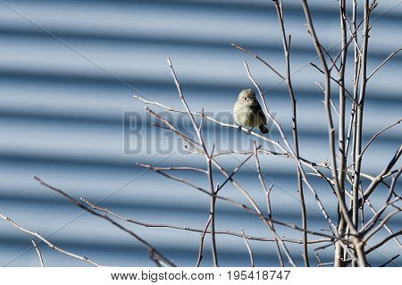 Hammond's Flycatcher rarely spotted in Massachusetts; seen in Fairhaven January 1 and 2 2016