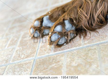 Paws of a cute Irish Setter dog