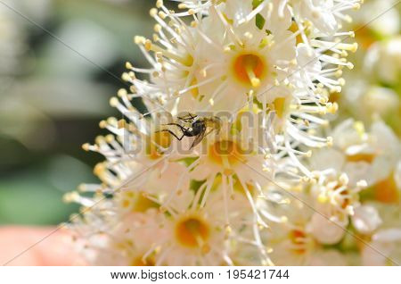 Little crab spider eating a robber fly in flowers. Little camouflaged spider eating a prey