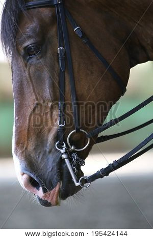 Purebred dressage horse trained in the riding hall. Side view portrait of beautiful sport horse under training