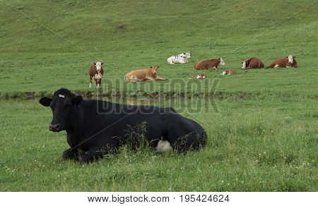 A lone black cow lying in a pasture with several Herefords.
