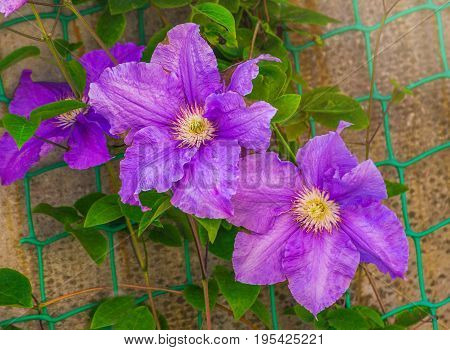 Flowering blue clematis in the garden. Beautiful lilac clematis flower