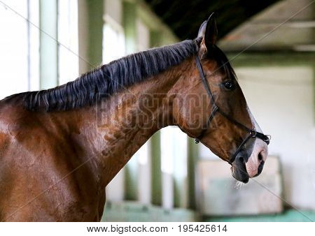 Gentle racehorse waiting for trainer in riding hall