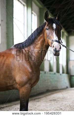 Gentle racehorse looking at the camera in the riding hall