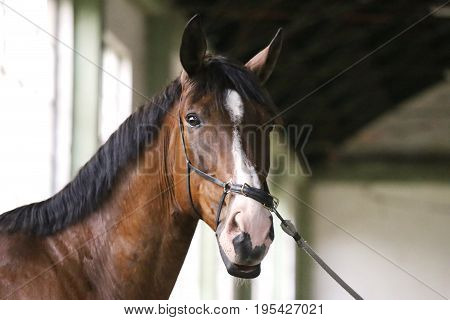 Purebred racehorse posing for camera in empty riding hall