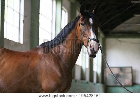 Thoroughbred racehorse posing for camera in empty riding hall