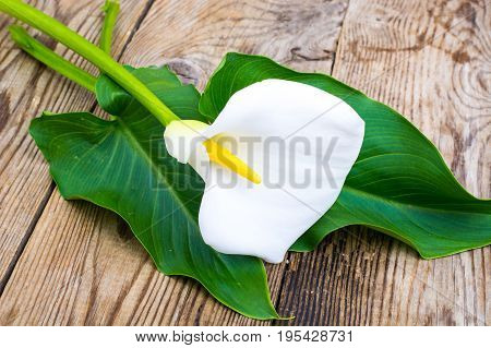 White flower calla with leaves on wooden table. Studio Photo