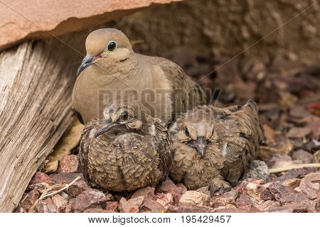 a mother mourning dove with her young just after they left the nest