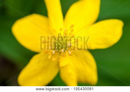 A Background With A Closeup Of A Anemone Ranunculoides With Blurred Petals On The Green Backdrop