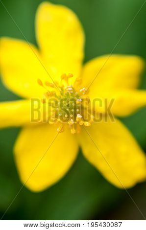 A Background With A Vertical Super Macro Closeup Of A Anemone Ranunculoides With Yellow Petals