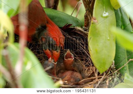 Baby Cardinal birds are feed by their father in the nest four to five hours after they hatched.