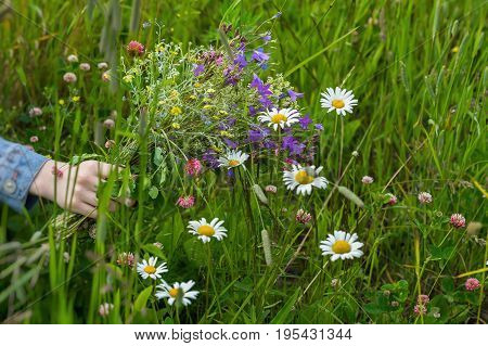 Hand of Girl with bouquet of beautiful wildflowers on background of summer meadow with chamomiles, clover. Concept of seasons, environmental and ecology, nature, natural backdrop
