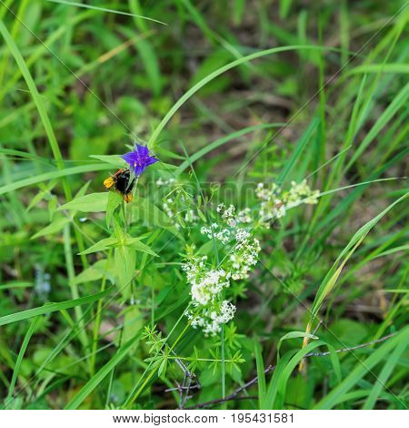 Natural green background of grass with bumblebee gathering nectar from summer flower. Concept of ecology, green planet, Health, green pharmacy