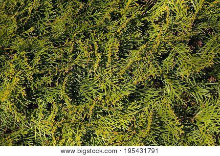 Thuja Green Natural Background, Thuja Branches Texture