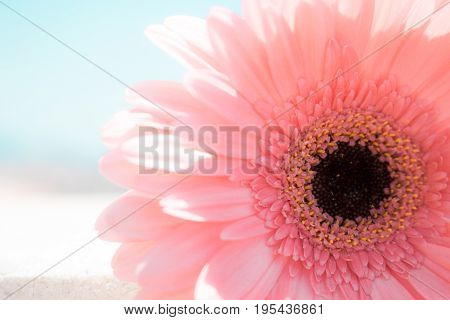Gerber. Beautiful pink flower. Summer plant. Macro.