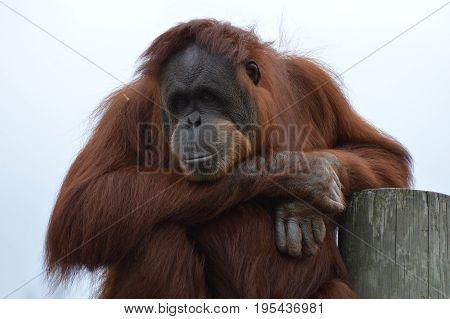 Close up of a curious female orangutan