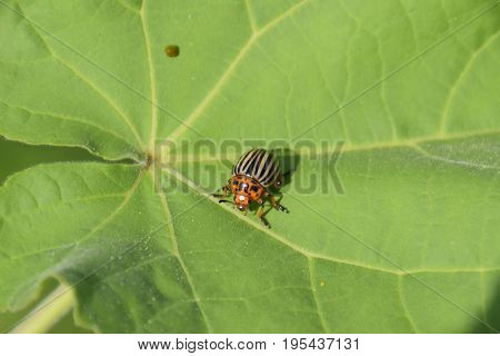 Colorado Beetle On A Leaf Of A Plant. Adult Striped Colorado Bee