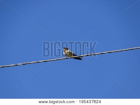 Swallows On The Wires. Swallows Against The Blue Sky. The Swallo