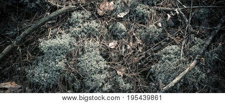 Abstract vintage background with green reindeer moss and lichen, tree trunks and dry autumn leaves.
