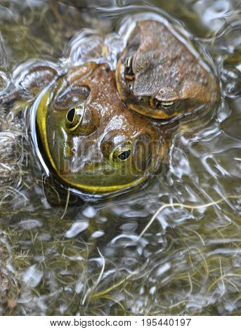 vertical image of two bufo toads with water plants