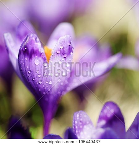 Beautiful violet crocus flower growing on the dry grass, the first sign of spring. Seasonal easter background.